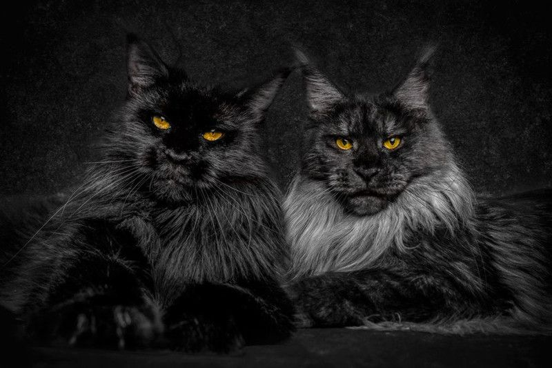Необыкновенно красивая порода кошек. Бесспорно это мини царь зверей
