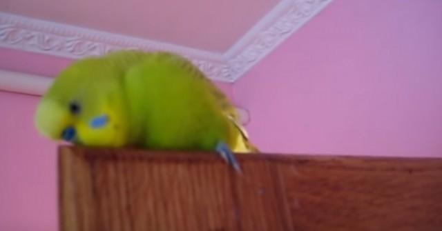 1 000 000 просмотров! Милый попугайчик болтает без умолку: Кеша птичка-говорун - Видео!
