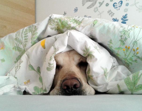 Собаки, которые решили, что ваша кровать предназначена именно для них