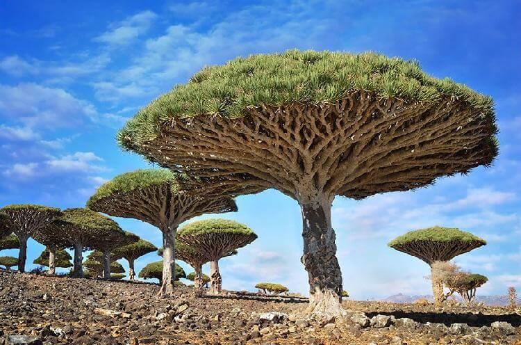 Драцены киноварно-красные, остров Сокотра, Йемен