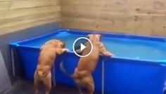 Главное — работа в команде! Как два пса достали любимую игрушку из бассейна.