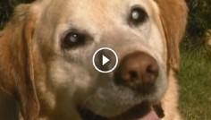 Слепой пес Норман спас тонущую девушку из воды! Особым чутьем почуяв неладное, он кинулся на помощь!