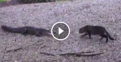 Кот зашел в вольер к аллигаторам. Казалось, ему не спастись, но произошло невероятное!