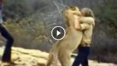 Они вырастили льва и отпустили его на волю. Встретившись с ним через год, они были удивлены!