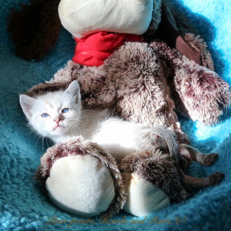 Котёнок, который не может ходить, научился ездить и нашёл самую лучшую маму в лице хаски.