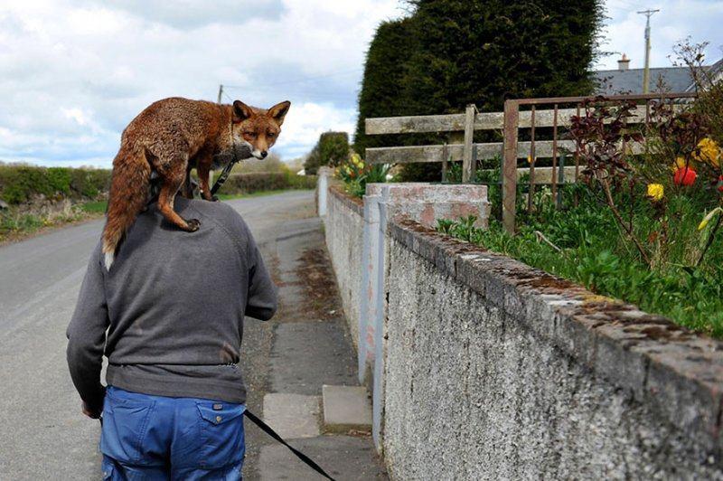 Мужчина спас двух лис, и теперь они влюблены в него