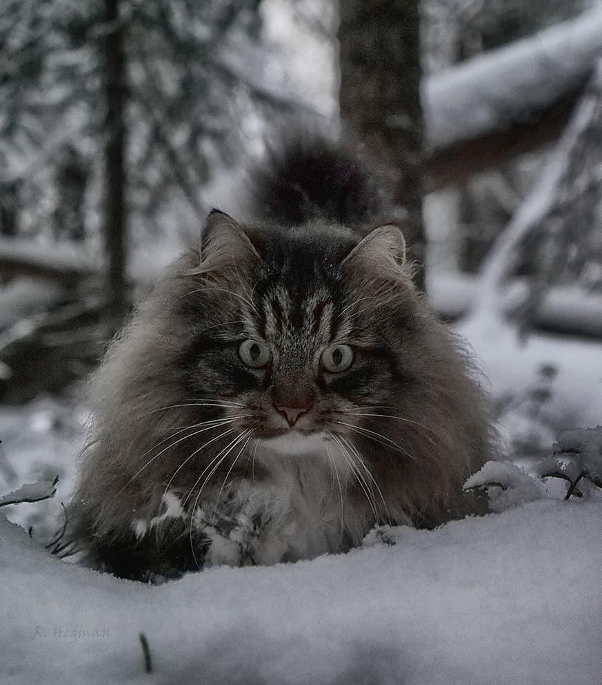 одном другом лесная сибирская кошка фото автор описывал своей