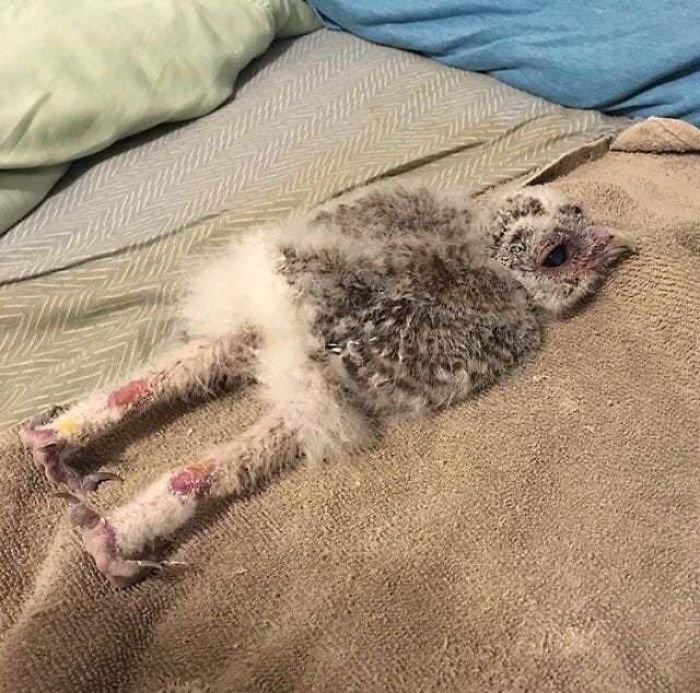 Некоторые совы спят лицом вниз и вытянув ноги: 12 забавных фото